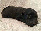 Labrador Retriever Puppy For Sale in WINTON, CA