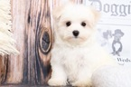 Maltese Puppy For Sale in BEL AIR, Maryland,
