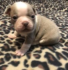 Boston Terrier Puppy For Sale in BELLA VISTA, AR, USA