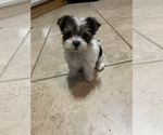 Yorkshire Terrier Puppy For Sale in ALTA LOMA, TX, USA