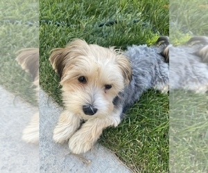 Maltese-Poodle (Standard) Mix Puppy for Sale in CALDWELL, Idaho USA