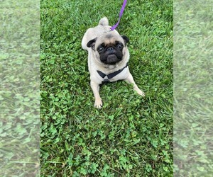 Pug Dog for Adoption in BRIDGEWATER, Virginia USA