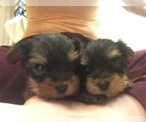 Yorkshire Terrier Puppy for sale in ATL, GA, USA