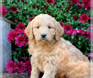 Goldendoodle (Miniature) Puppy for sale in LEBANON, PA, USA
