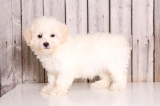 View Ad: Maltese Puppy for Sale near Ohio, MOUNT VERNON ...