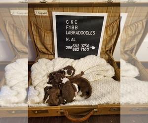Labradoodle-Poodle (Standard) Mix Puppy for sale in HUNTSVILLE, AL, USA