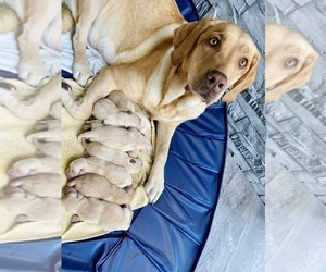 Labrador Retriever Puppy for sale in REDMOND, WA, USA
