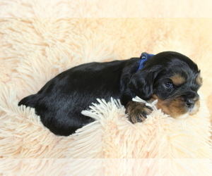 Cavalier King Charles Spaniel Puppy for Sale in HOMELAND, California USA