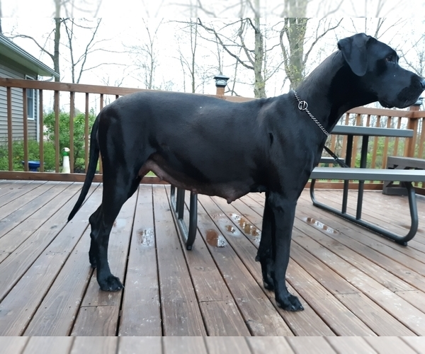 Medium Photo #1 Great Dane Puppy For Sale in MOUNT GILEAD, OH, USA