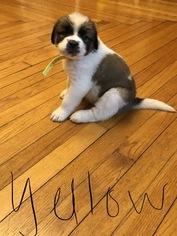 Saint Bernard Puppy For Sale in HARCOURT, IA, USA