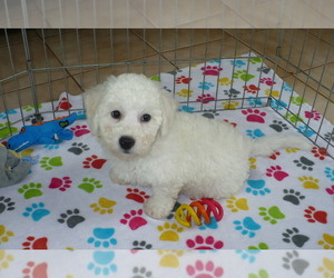 Bichon Frise Puppy for sale in ORO VALLEY, AZ, USA
