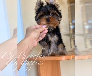 Yorkshire Terrier Dog for Adoption in Kyiv, Kyiv City Ukraine