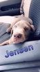 Labrador Retriever Puppy For Sale in OBLONG, IL, USA