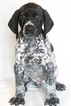 German Shorthaired Pointer Puppy For Sale in SHINGLE SPRINGS, CA, USA