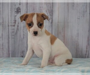 Foxy Russell Puppy for sale in FREDERICKSBG, OH, USA