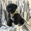 Boston Terrier-Poodle (Toy) Mix Puppy For Sale in EAST EARL, PA