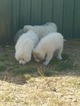 Great Pyrenees Puppy For Sale near 65775, West Plains, MO, USA