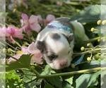 Small #17 Bullhuahua-Chihuahua Mix