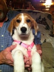Bagle Hound Puppy For Sale in JASPER, GA
