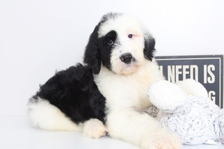 View Ad: Sheepadoodle Puppy for Sale near Florida, NAPLES, USA  ADN