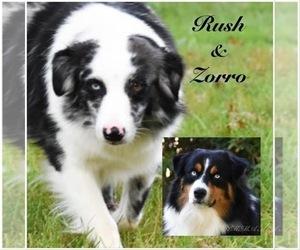 Father of the Australian Shepherd puppies born on 03/25/2021