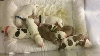 American Bulldog Puppy For Sale in KEYMAR, MD
