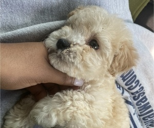 Maltese-Poodle (Toy) Mix Puppy for Sale in N HOLLYWOOD, California USA