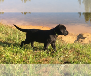 Labrador Retriever Puppy for Sale in FRUITPORT, Michigan USA