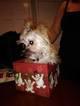 Morkie Puppy For Sale in TAUNTON, MA, USA