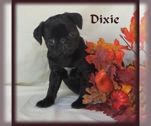 Pug Puppy for Sale in BULLTOWN, Pennsylvania USA