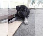 Puppy 6 German Shepherd Dog