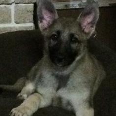 German Shepherd Dog Puppy for sale in SAN ANTONIO, TX, USA