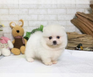 Pomeranian Dog for Adoption in SAN JOSE, California USA