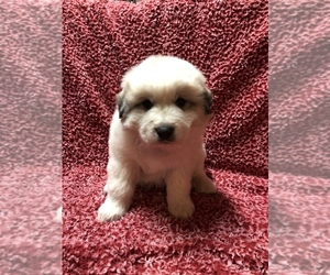 Great Pyrenees Puppy for sale in RICHMOND, OH, USA
