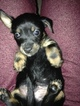 Chiweenie Puppy For Sale in LONGVIEW, WA
