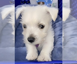 West Highland White Terrier Puppy for sale in ROSHARON, TX, USA