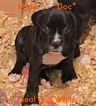 Boxer Puppy For Sale in BESSEMER, AL,
