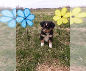 Australian Shepherd Puppy for sale in AURORA, MO, USA