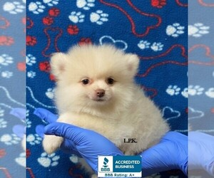 Pomeranian Dog for Adoption in WINNSBORO, Louisiana USA