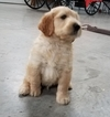 Goldendoodle Puppy For Sale in ARTHUR, IL, USA