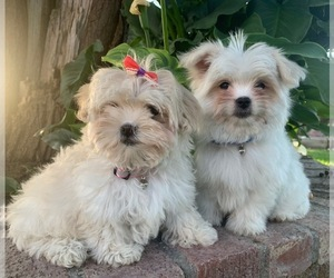 Shih-Poo Puppy for Sale in TEMECULA, California USA