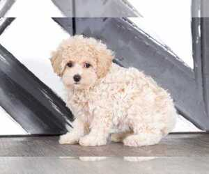 Bichpoo Dog for Adoption in BEL AIR, Maryland USA