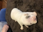 English Bulldog Puppy For Sale in COLUMBIA, Missouri,