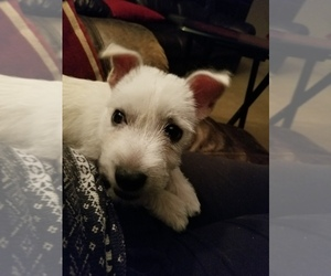 West Highland White Terrier Puppy for sale in OMAHA, NE, USA