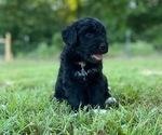 Puppy 5 Aussiedoodle