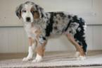 Australian Shepherd Puppy For Sale in KENT, OH, USA