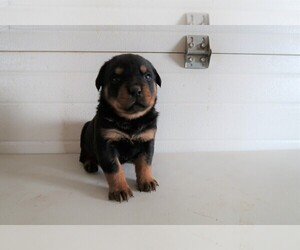Rottweiler Puppy for sale in BLOOMINGTON, IN, USA