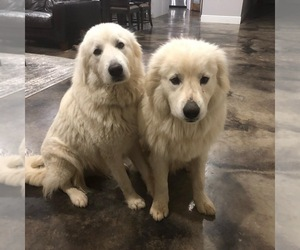Great Pyrenees Puppy for Sale in CLEBURNE, Texas USA