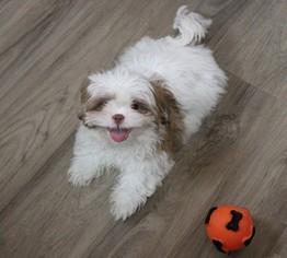 Shih Tzu Puppy For Sale in MURRIETA, CA