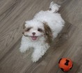 Shih Tzu Puppy For Sale in MURRIETA, CA